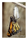 3634_monarch_butterfly_at_chrysalis_with