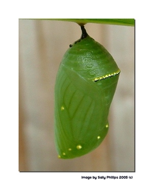 4_monarch_chrysalis